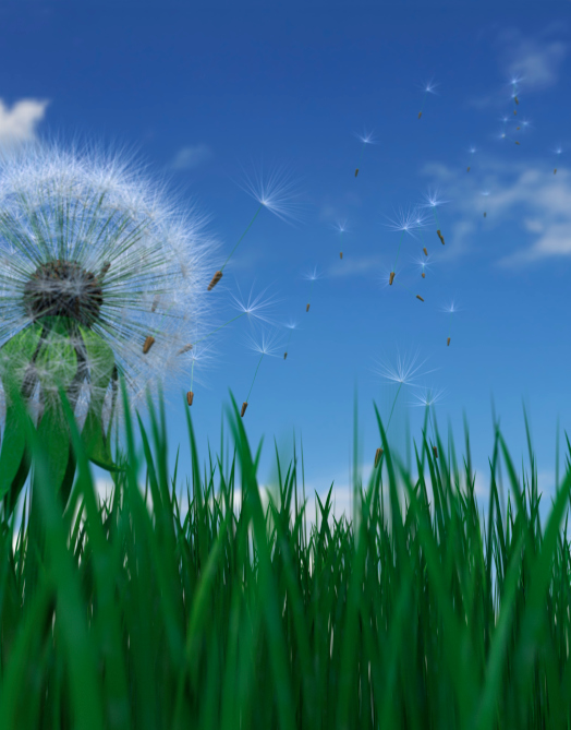 Dandelion seeds blowing in wind, ground view (Digital)